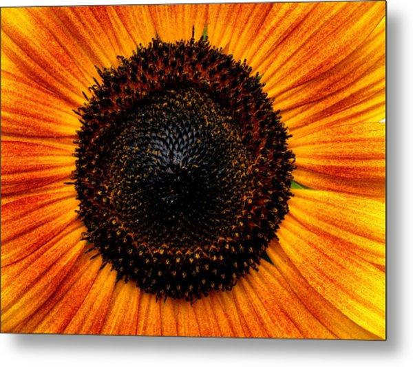 Sunflower Metal Print by Martin Morehead