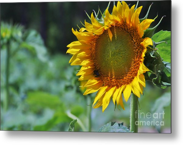 Sunflower Series Metal Print by Wendy Mogul
