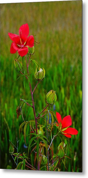 Texas Star Hibiscus Metal Print