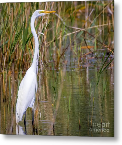 The Great White Egret Metal Print by Ricky L Jones