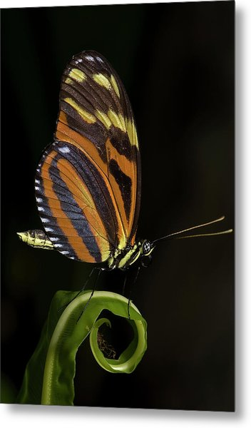 Tiger Longwing Metal Print