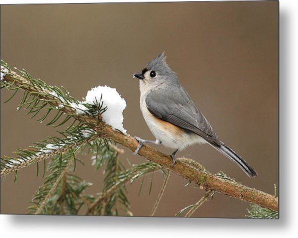 Tufted Titmouse Metal Print by Alan Lenk