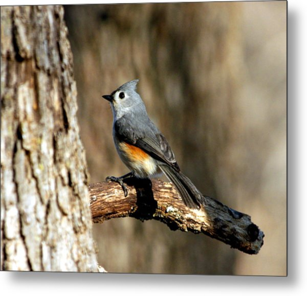 Tufted Titmouse On Branch Metal Print