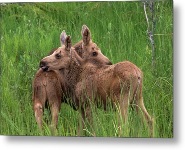 Twin Baby Moose Metal Print