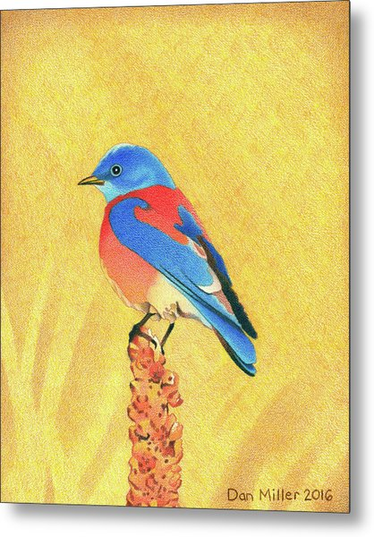 Western Bluebird Metal Print