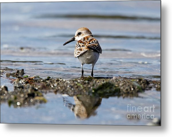 Metal Print featuring the photograph Western Sandpiper by Sue Harper