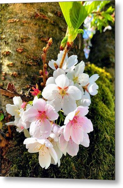 White Apple Blossom In Spring Metal Print