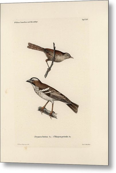 White-browed Sparrow-weaver And Grass Or Bush Warbler Metal Print