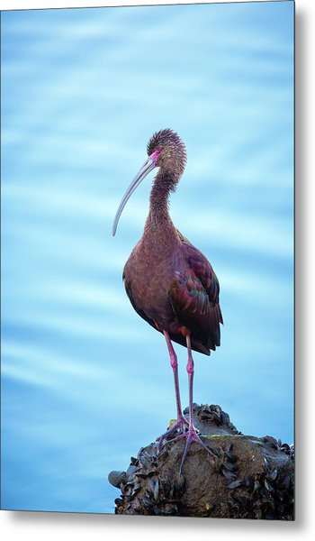 White-faced Ibis Metal Print