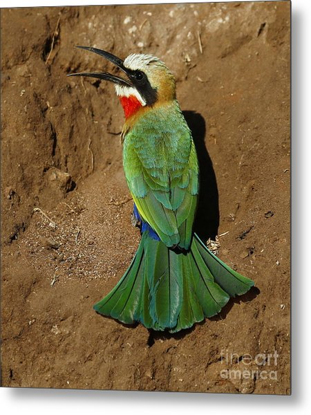 White Fronted Bee-eater Metal Print
