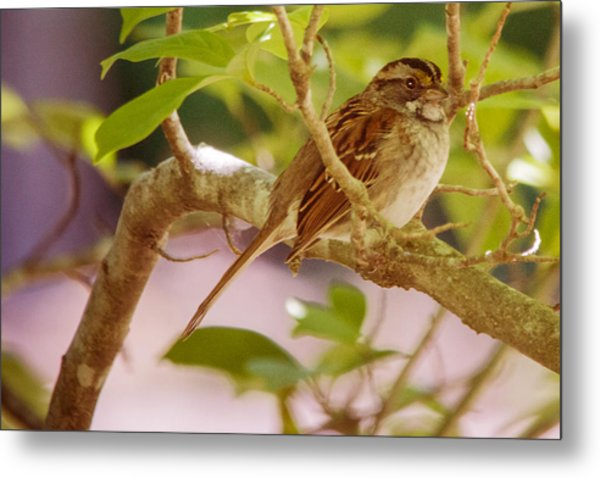 White Throated Sparrow Metal Print by Barry Jones