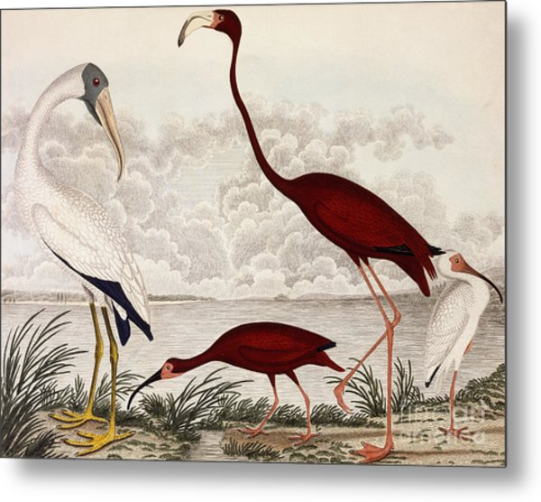 Wood Ibis, Scarlet Flamingo, White Ibis Metal Print