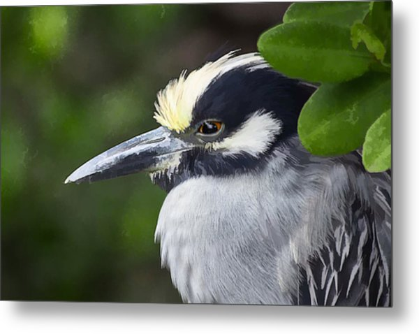 Yellow-crowned Night Heron Metal Print