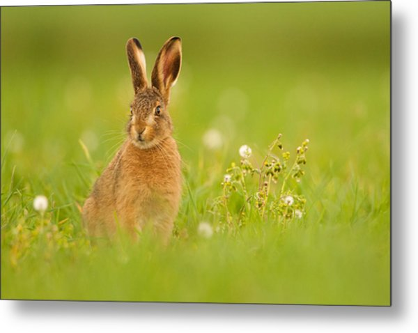 Young Hare In Meadow Metal Print