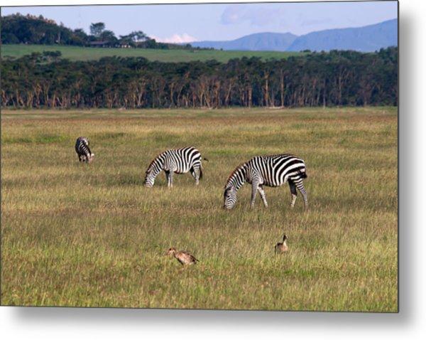 Zebras - Zebres Metal Print