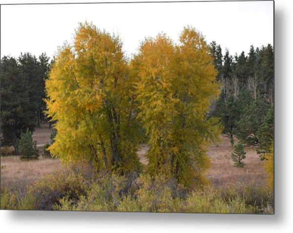 Aspen Trees In The Fall Co Metal Print