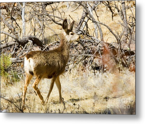 Mule Deer In The Pike National Forest Metal Print