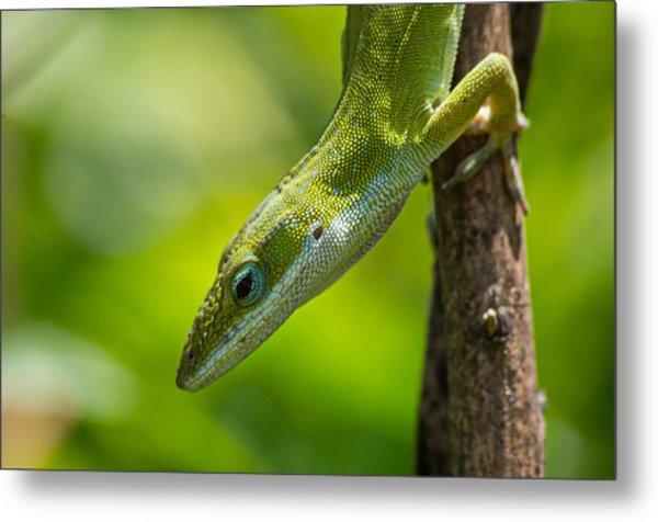 Metal Print featuring the photograph Green Lizard by Willard Killough III
