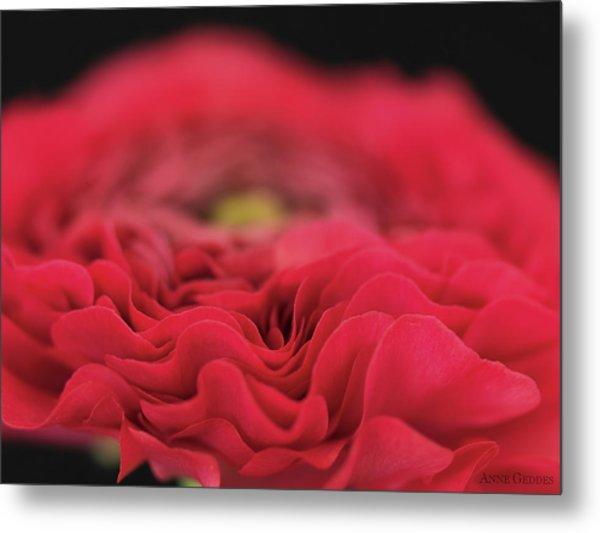 Ranunculus In Bloom Metal Print by Anne Geddes