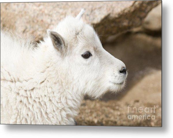 Baby Mountain Goats On Mount Evans Metal Print