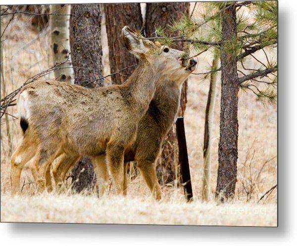 Mule Deer In The Pike National Forest Of Colorado Metal Print
