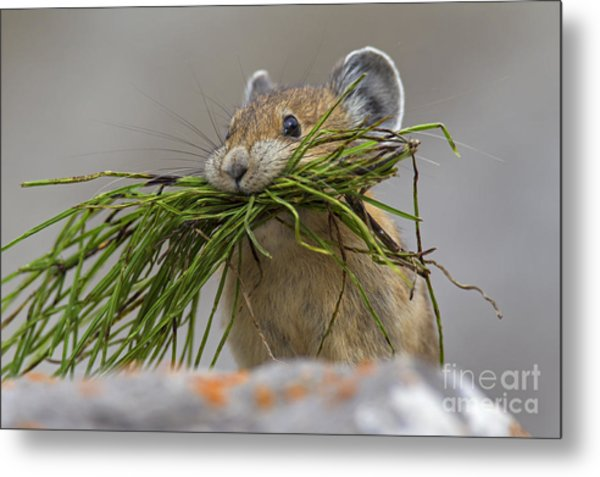 Pika With A Mouthful  Metal Print