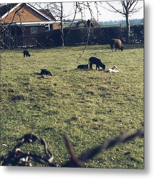 19. First Sights Of Spring #lambs #baby Metal Print