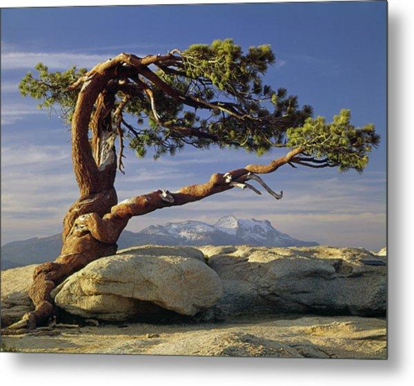 1m6701 Historic Jeffrey Pine Sentinel Dome Yosemite Metal Print