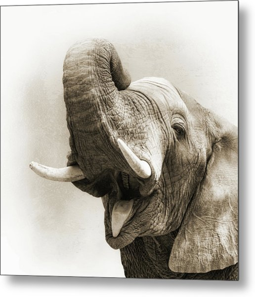 African Elephant Closeup Square Metal Print