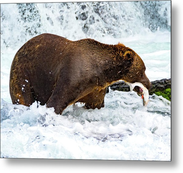 Alaska Brown Bear Metal Print