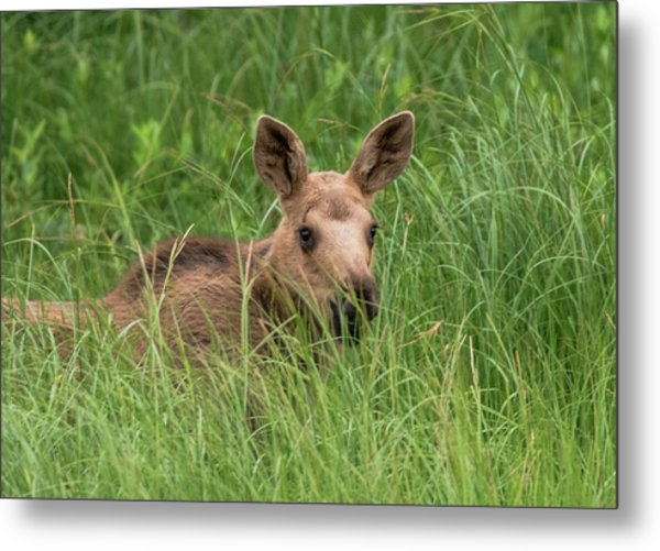 Baby Moose In The Grass Metal Print