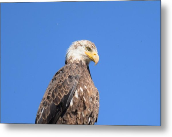 Bald Eagle Juvenile Perched Metal Print