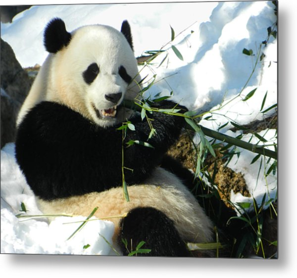 Bao Bao Sittin' In The Snow Taking A Bite Out Of Bamboo1 Metal Print