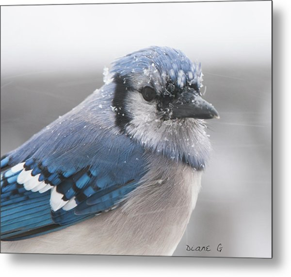 Blue Jay In A Blizzard Metal Print