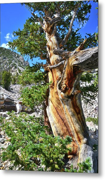 Bristlecone Loop Trail Metal Print