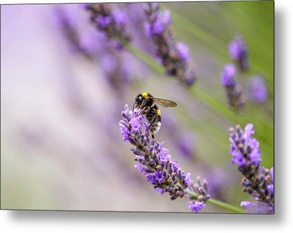 Bumblebee And Lavender Metal Print