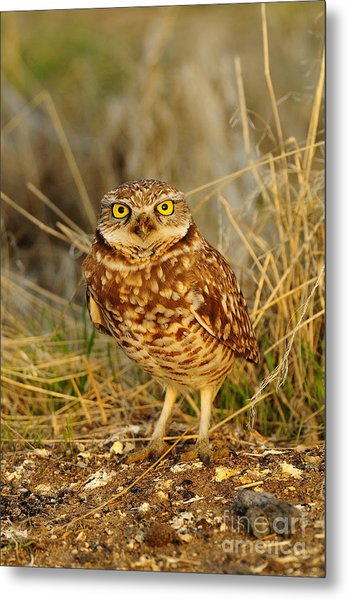 Burrowing Owl Metal Print by Dennis Hammer