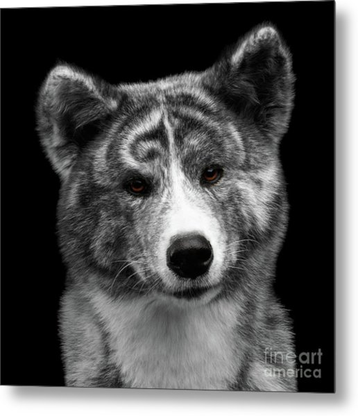 Closeup Portrait Of Akita Inu Dog On Isolated Black Background Metal Print