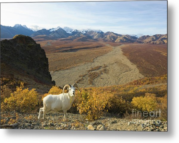 Dalls Sheep In Denali Metal Print