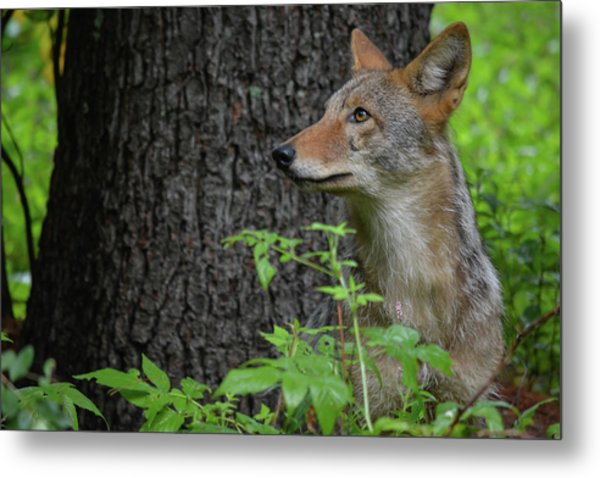 Early Morning Coyote In Maine Metal Print