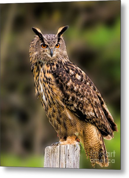 Eurasian Eagle Owl Perched On A Post Metal Print