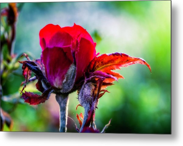 Fading Beauty Metal Print