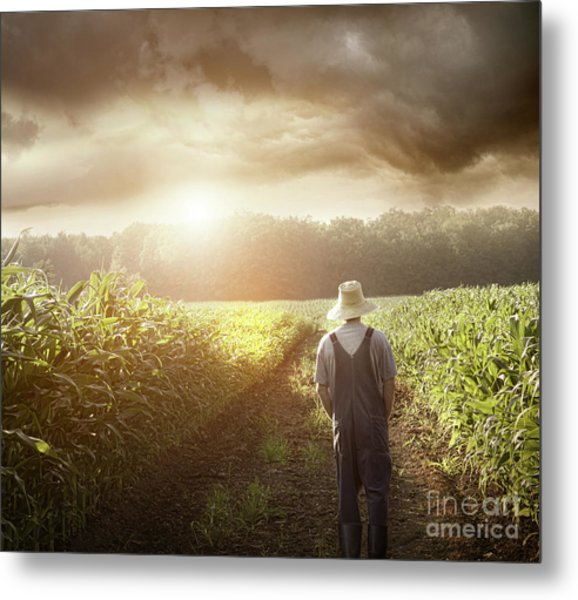 Farmer Walking In Corn Fields At Sunset Metal Print