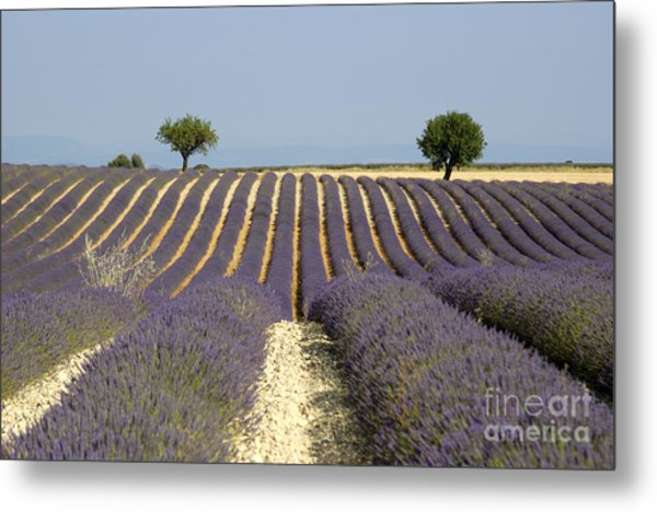 Field Of Lavender. Provence Metal Print