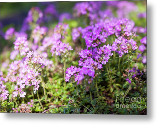 Metal Print featuring the photograph Flowering Thyme by Elena Elisseeva