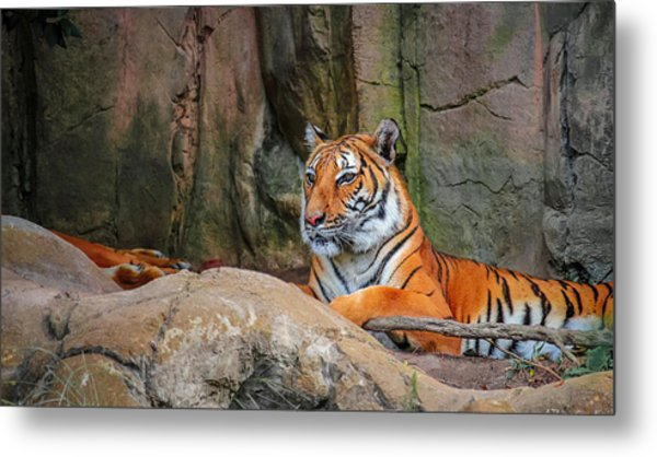 Fort Worth Zoo Tiger Metal Print