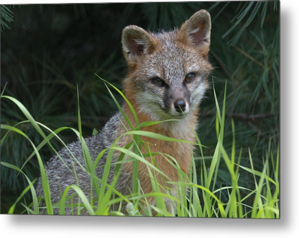 Gray Fox In The Grass Metal Print