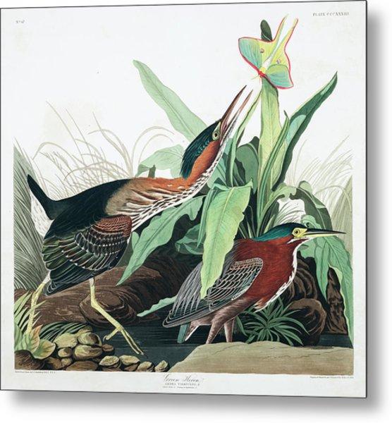 Green Heron Metal Print