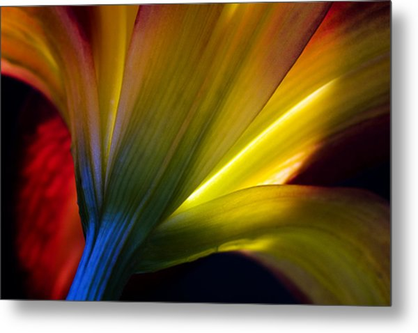 Lily Lumina Metal Print by Shawn Young