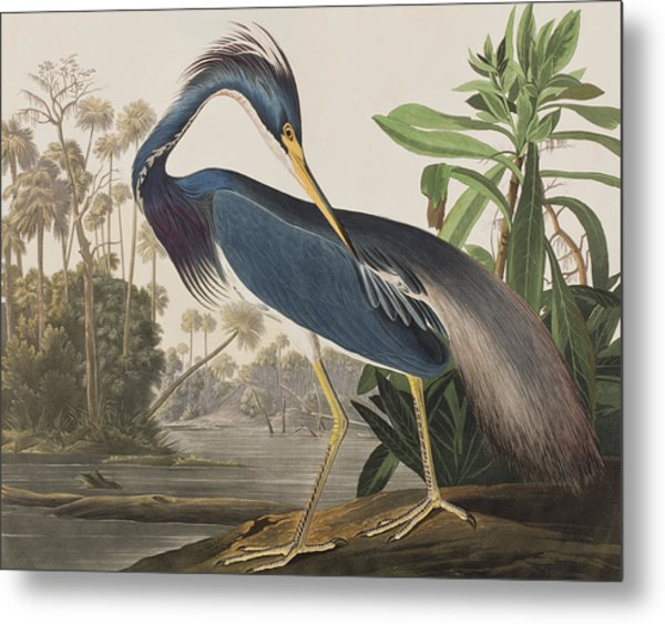 Louisiana Heron  Metal Print